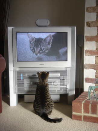 image of cat named Fatty watching TV